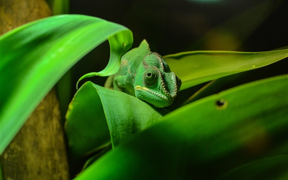 Wallpaper Green chameleon, reptile close-up, foliage