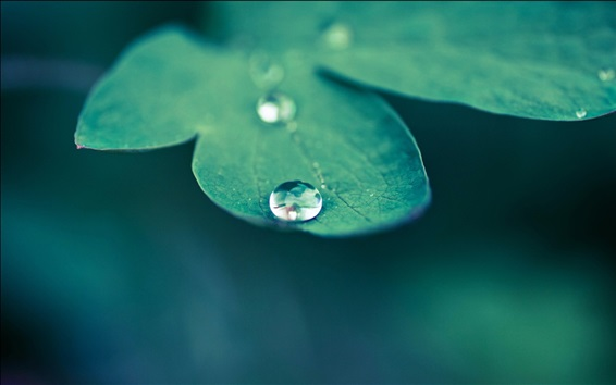 Wallpaper Green leaf macro photography, dew