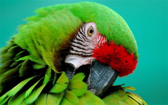 Wallpaper Green parrot close-up, beak