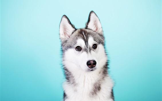 Обои Хриплый пес, синий фон