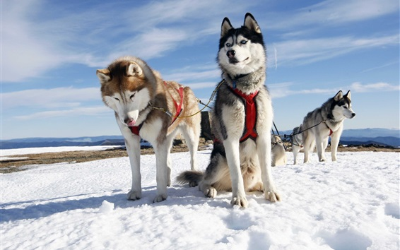 Wallpaper Husky dogs, snow, Alaska