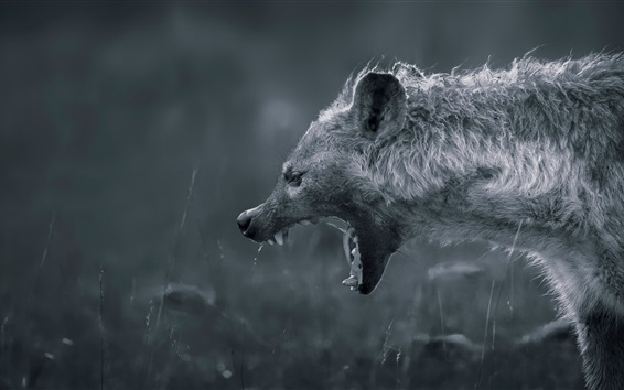 Wallpaper Hyena angry, white and black