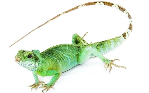 Wallpaper Iguana close-up, long tail, white background