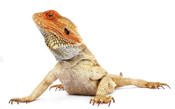 Papéis de Parede Iguana, cabeça, fundo branco