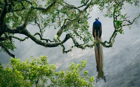 Papéis de Parede Indianas, pavão, árvore