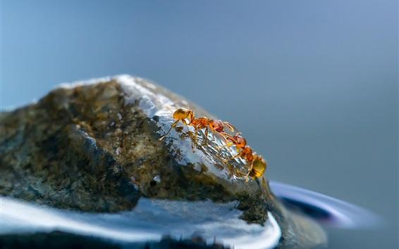 Обои Насекомые крупным планом, муравьи, вода, камень