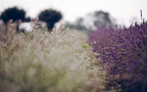Wallpaper Lavender field, blur background