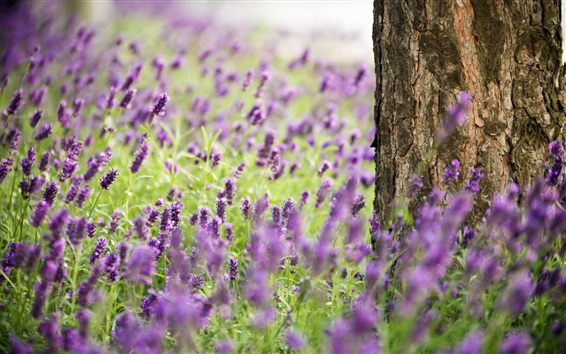 Wallpaper Lavender flowers, tree