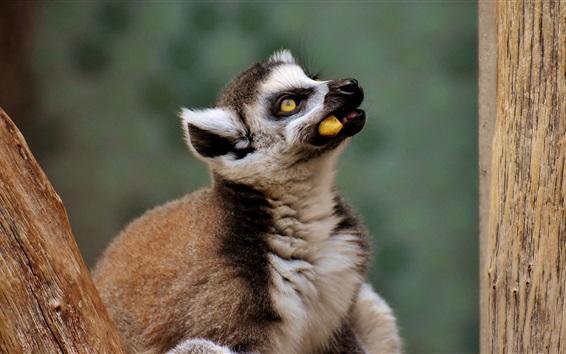 Wallpaper Lemur eat food, take head up