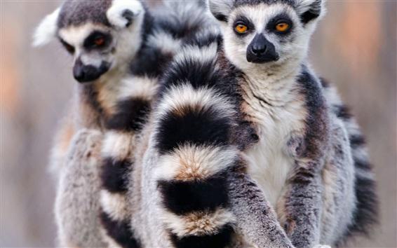 Papéis de Parede Lemur vista frontal