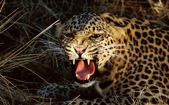 Papéis de Parede Leopardo irritado, dentes