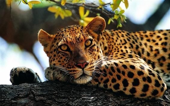 Обои Леопардовый отдых в дереве, боке