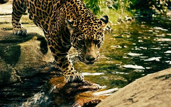 Wallpaper Leopard walk to across creek