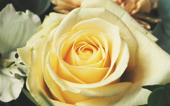 Обои Крупный план светло-желтой розы