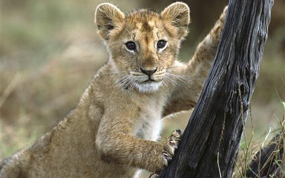 Wallpaper Lion cub want to climb tree