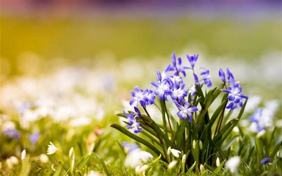 Обои Маленькие синие цветы, боке, весна