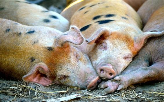 Papéis de Parede Porcos, mentindo, dormir