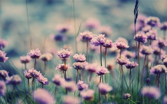 Papéis de Parede Pouco flores roxas, campo, grama