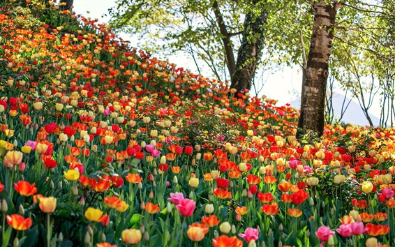 Fondos de pantalla Muchos tipos de tulipanes, flores de campo