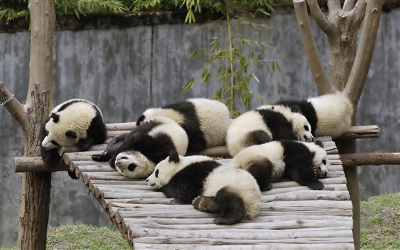 Wallpaper Many panda babies sleeping