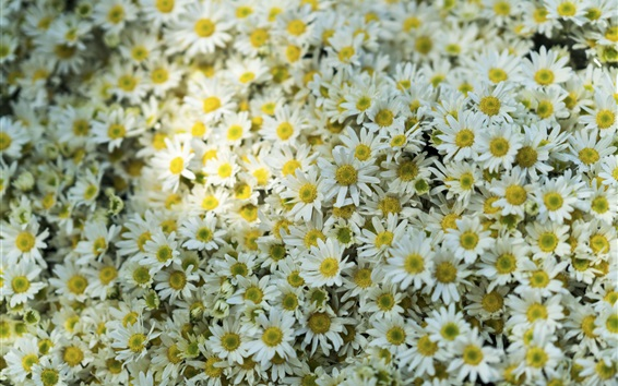 Wallpaper Many white daisies flowers