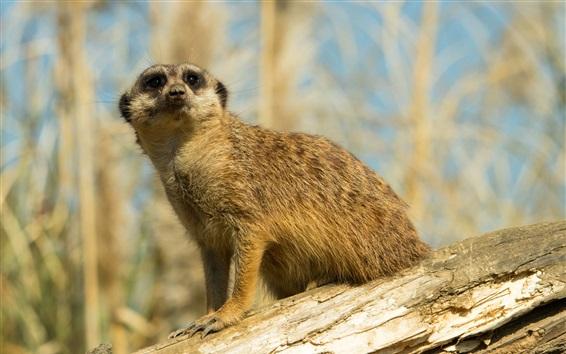Papéis de Parede Olhar meerkat, grama