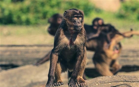 Papéis de Parede Macaco, rebanho, jardim zoológico