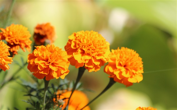 Wallpaper Orange marigold flowers