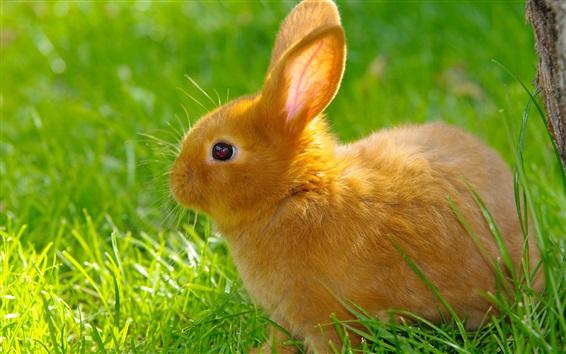 배경 화면 오렌지 토끼, 잔디