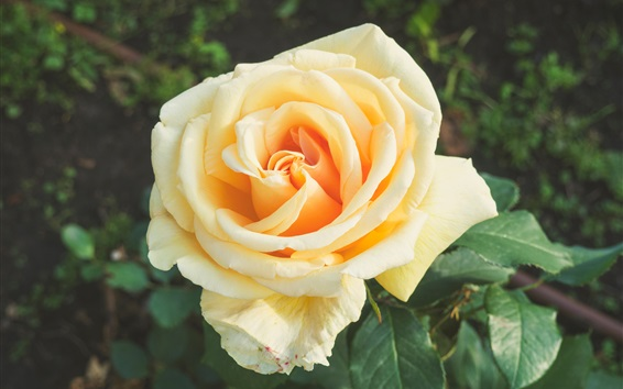 Wallpaper Orange rose