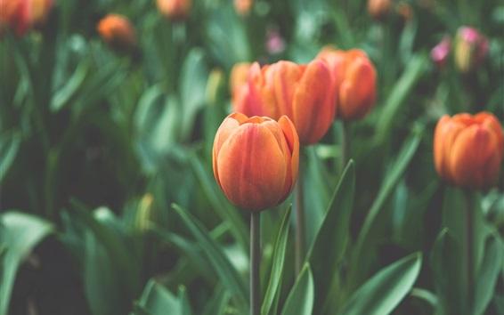 Wallpaper Orange tulips flowers field