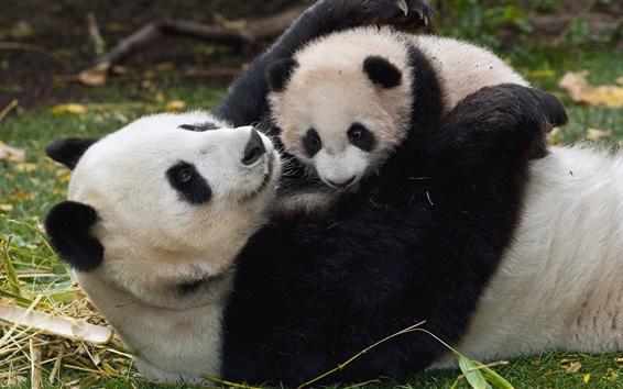 Wallpaper Panda and cub, playful