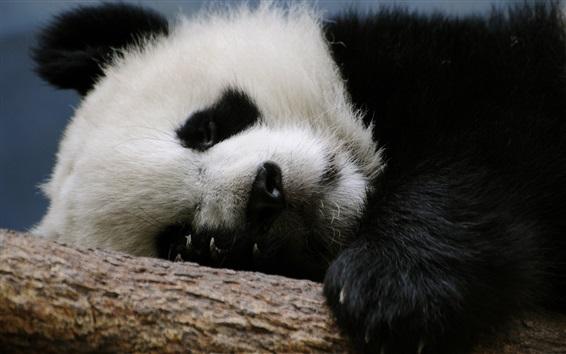 Wallpaper Panda sleep