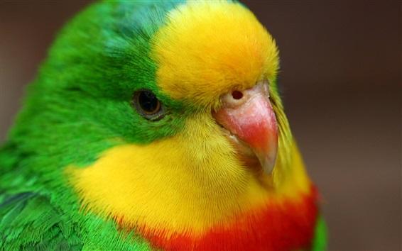 Обои Крупный план попугая, цветные перья, клюв, глаз