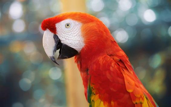 Papéis de Parede Papagaio, pena vermelha, bokeh