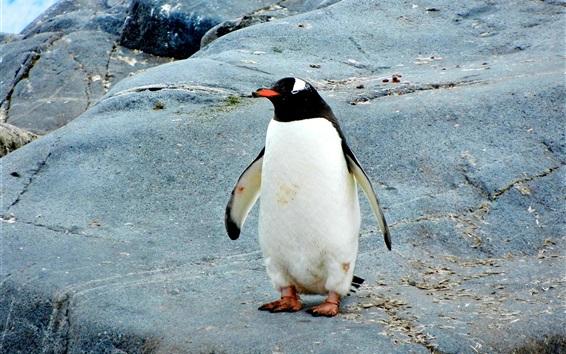 Papéis de Parede Pinguim, ficar, pedras
