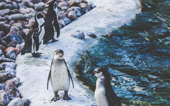 Wallpaper Penguins, coast