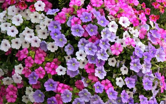 Fond d'écran Fleurs de pétunia, blanc, violet, rose