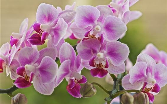 Wallpaper Phalaenopsis, pink flowers