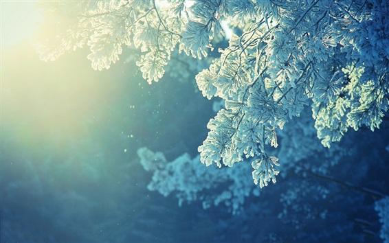Wallpaper Pine twigs, snow, winter