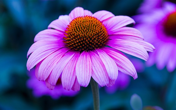 Papéis de Parede Rosa, echinacea, flor, fotografia, pétalas