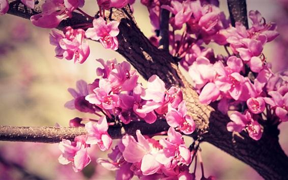 Wallpaper Pink flowers, tree, twigs, spring