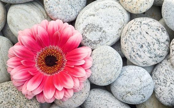 Wallpaper Pink gerbera flower and stones