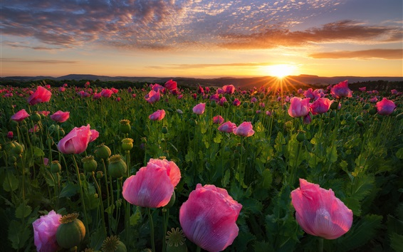 Wallpaper Pink poppies flowers, sunrise, dawn, Germany