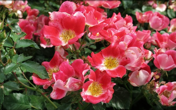 Fondos de pantalla Rosa rosa flor, ramitas, hojas