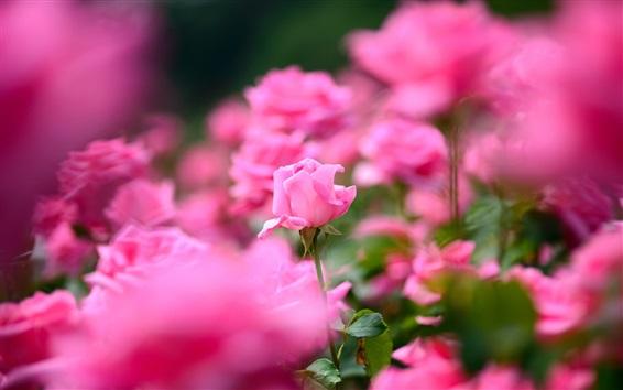 Wallpaper Pink rose flowers photography, bokeh