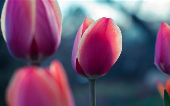 Fond d'écran Fleurs de tulipe rose close-up, fond flou