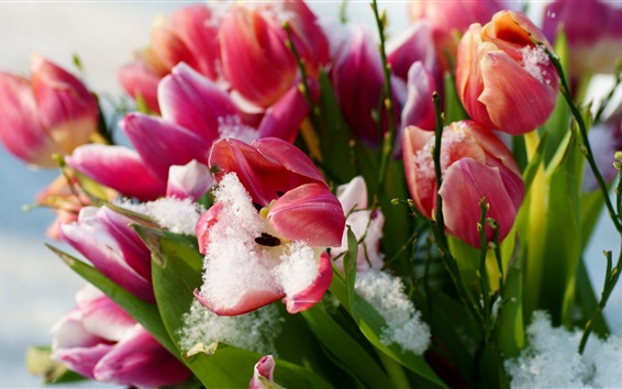 Papéis de Parede Pink tulipas, flores, neve, inverno