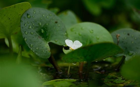 Papéis de Parede Planta, flor, água, gotas, verde, folhas