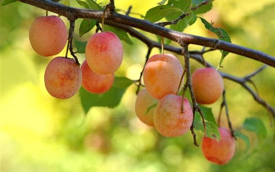 배경 화면 자두, 나뭇 가지, 잎, 신선한 과일